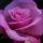 Malá OSHO Mystická růže s Amar / Little OSHO Mystic Rose with Amar
